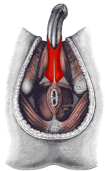 Bulbospogiosus stabilizuje penis pri erekcii