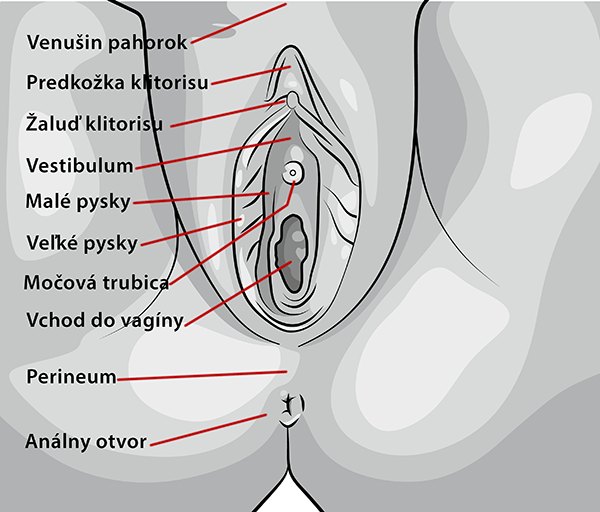 Popis ženských pohlavných orgánov
