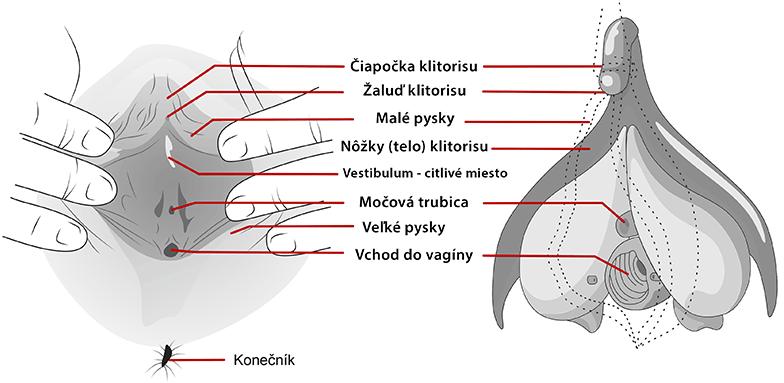 Anatómia klitorisu (pohľad) zvnútra